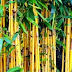 6 Benefits of Yellow Bamboo Root for health