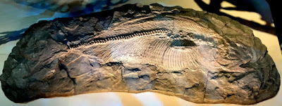 Fish of dinosaur era with unique 'hook-shaped sail' on its back