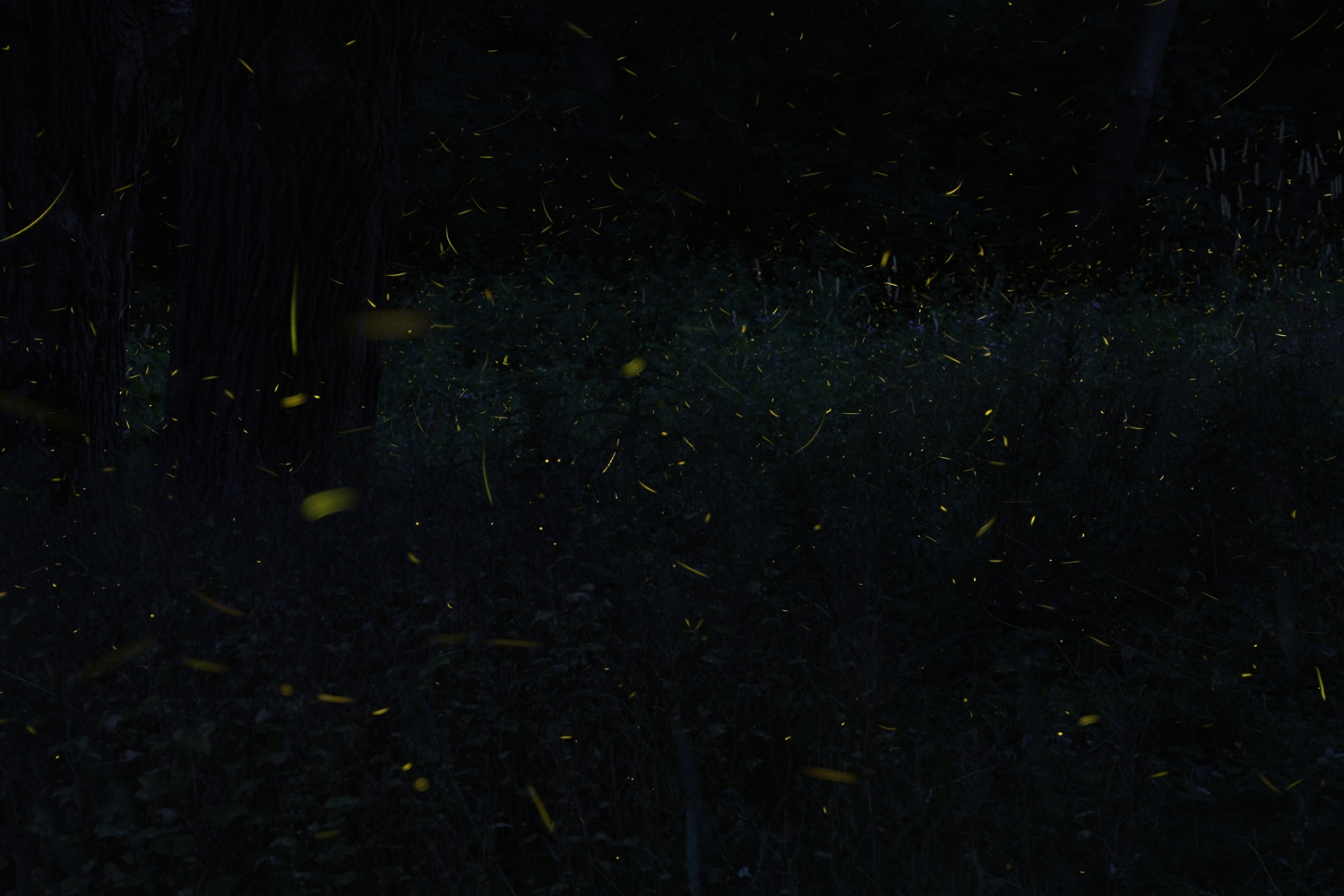 Stacked photograph of fireflies