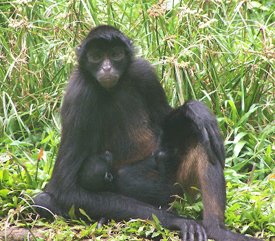 Black faced black spider monkey