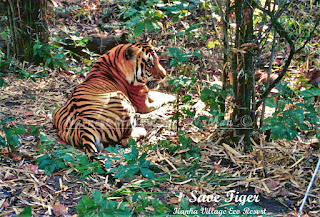 Kanha is best forest to spot tigers