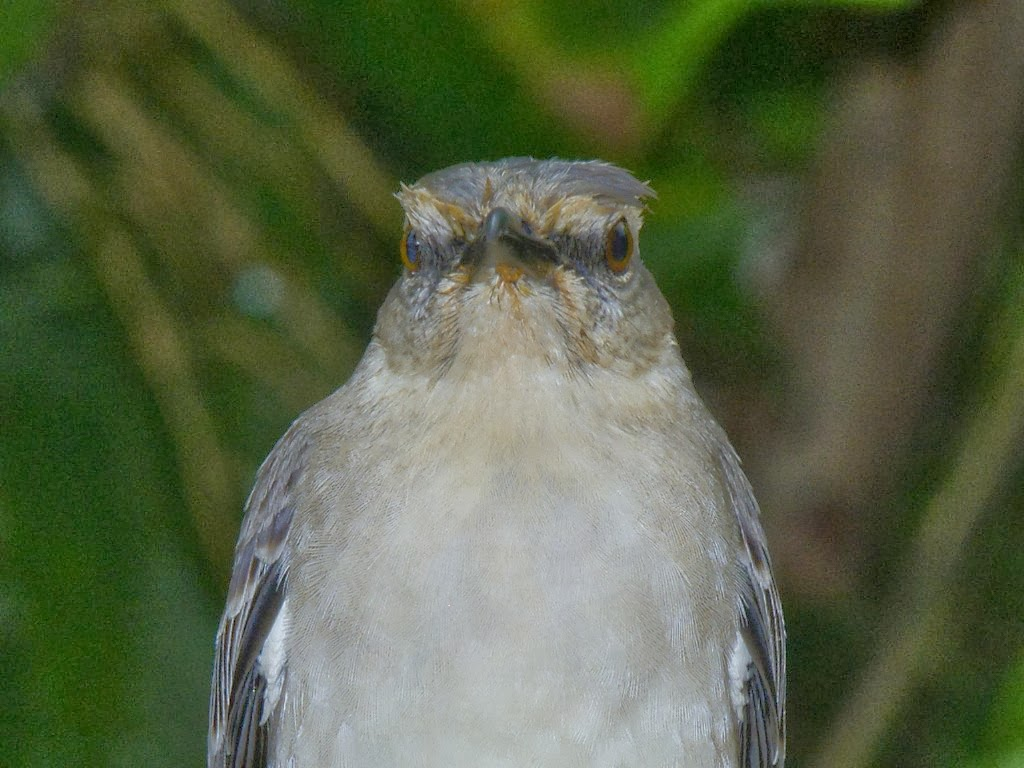 Tropical Mockingbird (Mimus gilvus) birds of the West Indies