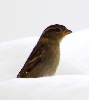 Tiny bird in the snow.