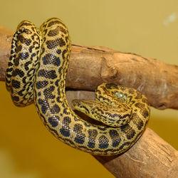 Anaconda kuning (15,1 kaki)