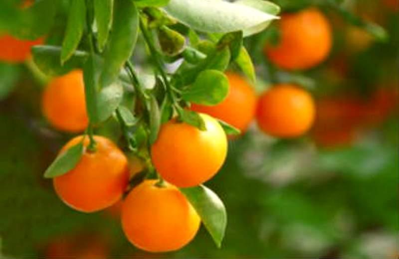 Manfaat Jeruk Keprok atau Tangerine untuk Kesehatan Rambut