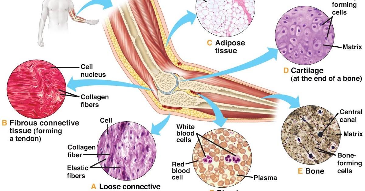 connective tissue diagram bone tissue diagram yoga to your core: connective tissue #6