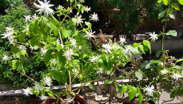 Mogra, Fragrant, Jasmine