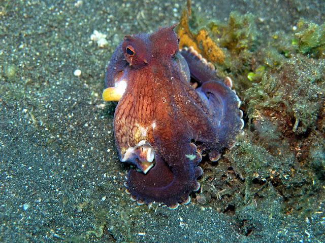 Amphioctopus marginatus