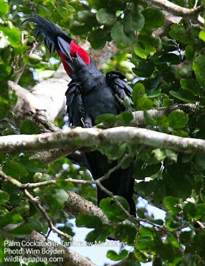 Palm Cockatoo in the forest of Tambrauw regency