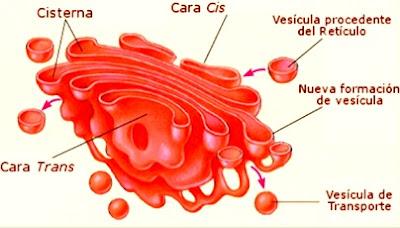 Imagen del Aparato de Golgi para niños