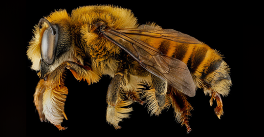 It's Now Official: First Bee Has Just Been Added to Endangered Species List