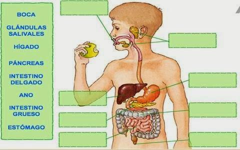 Sistema digestivo. Secuencia didáctica - Educación Primaria