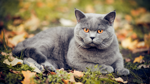 Get Closer with the Chubby British Shorthair Cat