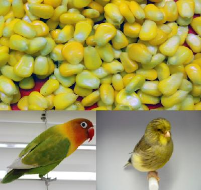 Manfaat Jagung Muda untuk Lovebird dan Kenari