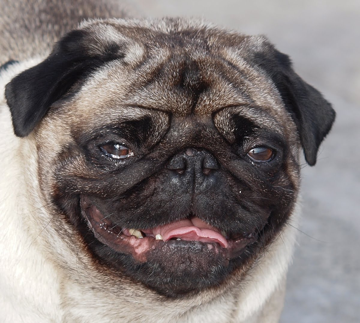 ugly pug pictures
