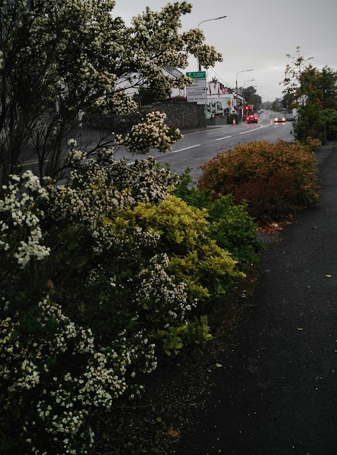 blossoming shrubs and view of Moycullen