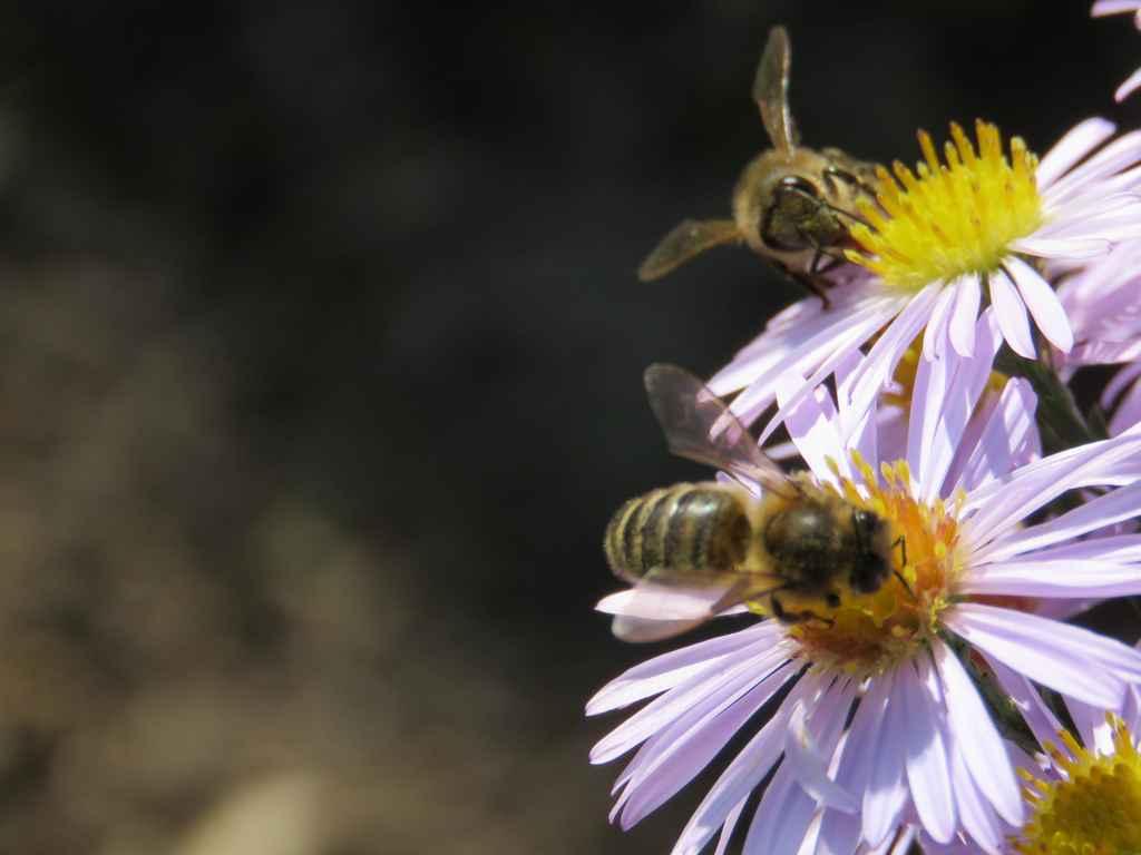 Les abeilles et les fleurs d\'automne