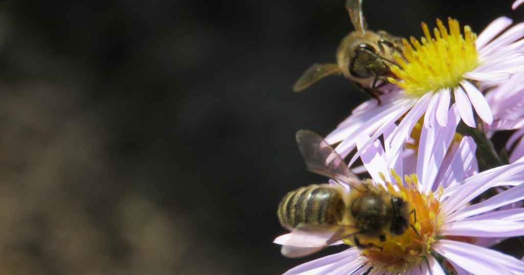 jardin des mille temps les abeilles et les fleurs d 39 automne. Black Bedroom Furniture Sets. Home Design Ideas
