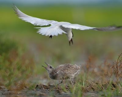 Adult Gull-billed Tern reacting to a Laughing Gull chick that entered its territory © Michael Kilpatrick