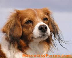 foto de perro de raza labrador con pene erecto