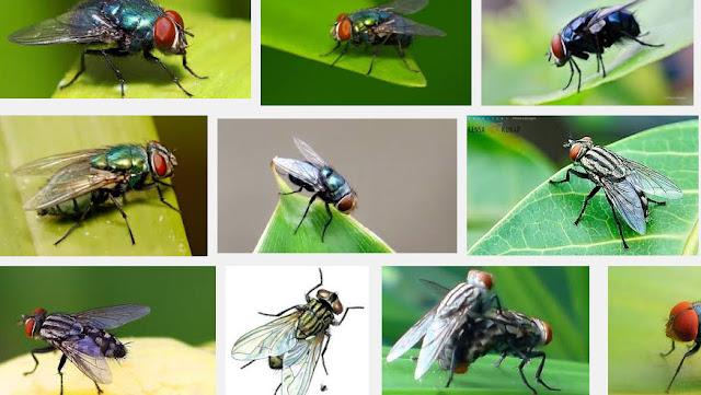 Lalat Banyak