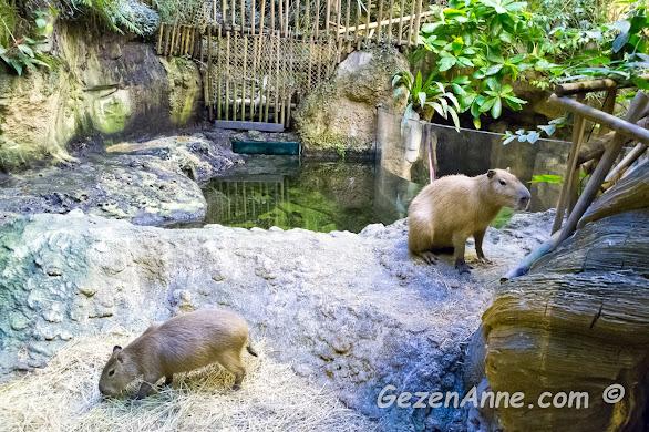 en büyük kemirgen ailesine ait olan Capybara, İstanbul Akvaryum tropikal yağmur ormanları