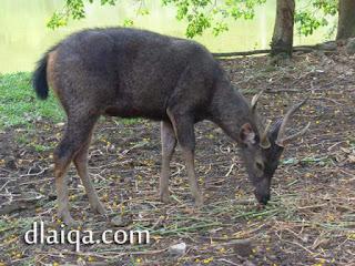 Rusa Sambar (Cervus unicolor)