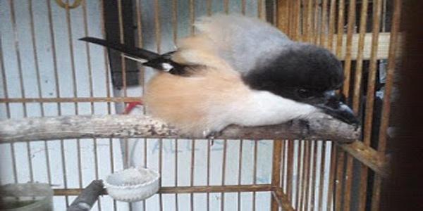 mencegah burung sakit