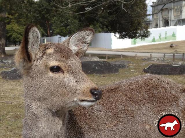Daim de Nara au Japon