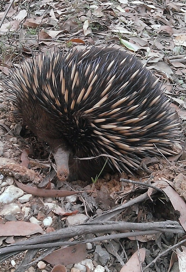 Picture of a porcupine.