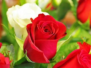 bunga-mawar-mojokerto