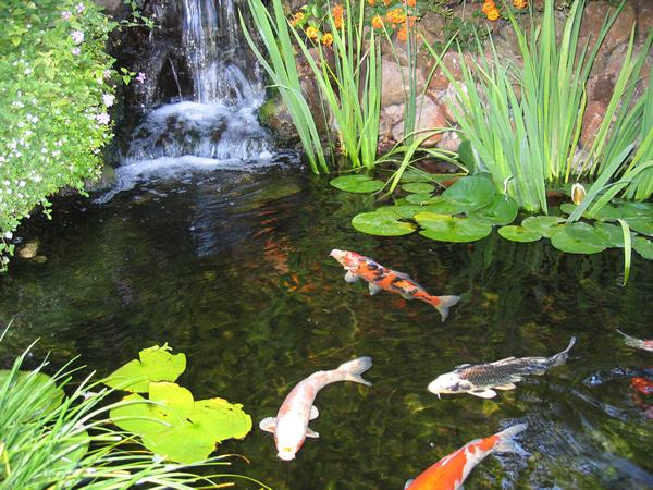 Shay 39 s word garden koi pond haiku for Koi fish in pool
