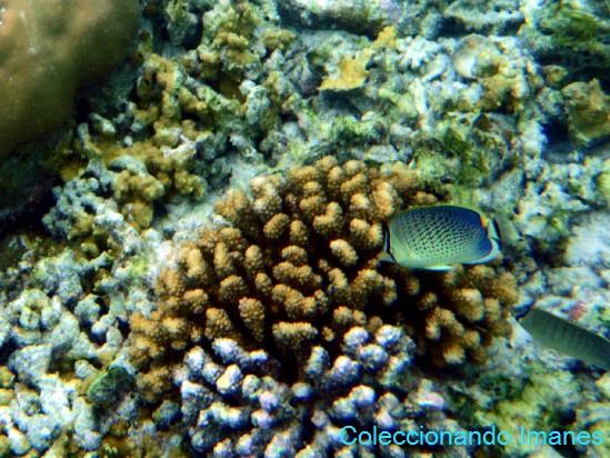 pez mariposa con puntos