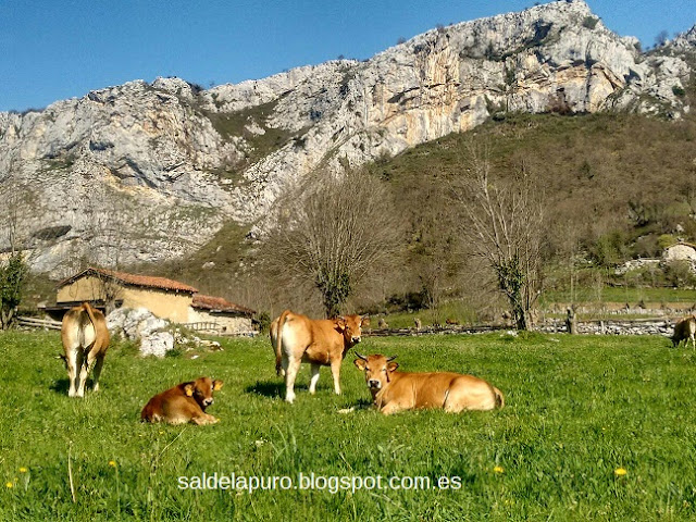 vacas-montaña-asturianas