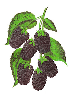 fruit blackberry vintage image illustration botanical artwork
