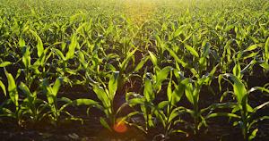 Akad Musaqah dalam Usaha Agribisnis