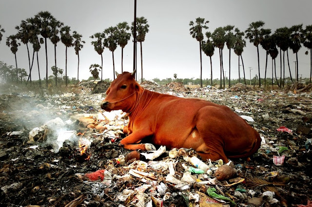 Cow and Environment