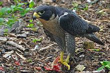 burung Peregrine Falcon