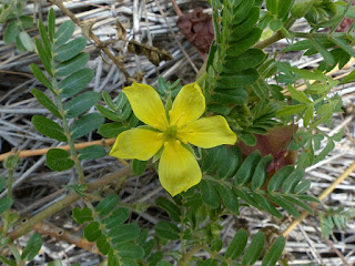 Herbe pagode - Tribule faux ciste - Herse faux-ciste - Tribulus cistoides