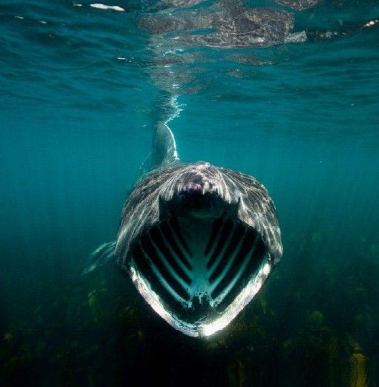 Basking Shark Vs Whale Shark
