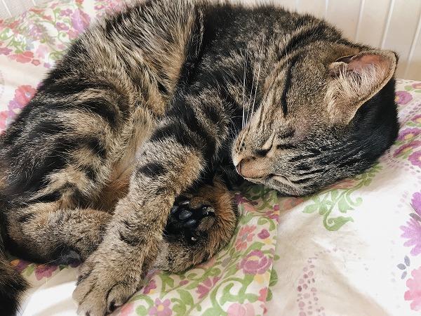 ケージのベッドで寝ているキジトラ猫