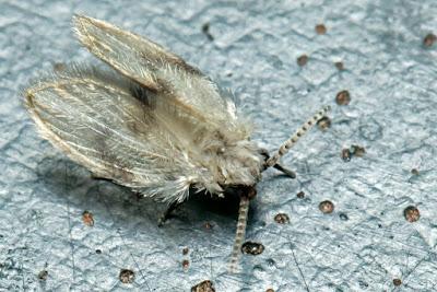 Moth Fly | Drain fly