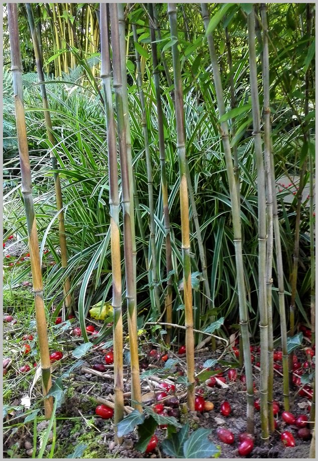 bambus kamelien yuccas bambus des jahres 2014. Black Bedroom Furniture Sets. Home Design Ideas
