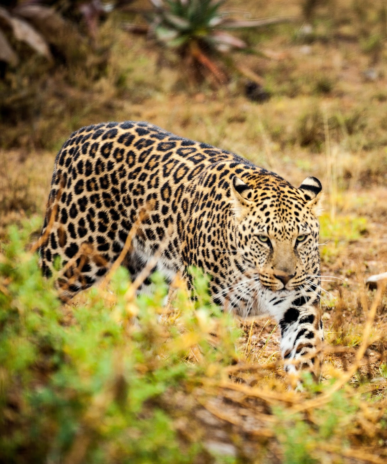 A picture of a leopard in the wild.