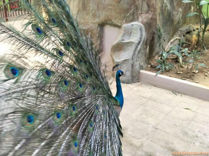 Percubaan Beri Makan Peacock