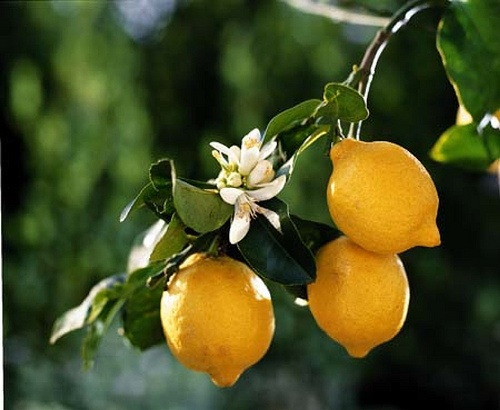 giardinaggio laura ponte in valtellina limone citrus limon. Black Bedroom Furniture Sets. Home Design Ideas