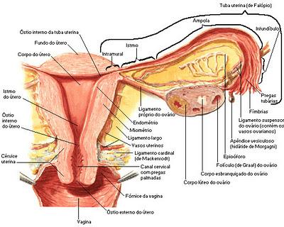 Malformación Uterina (Útero Bicorne)