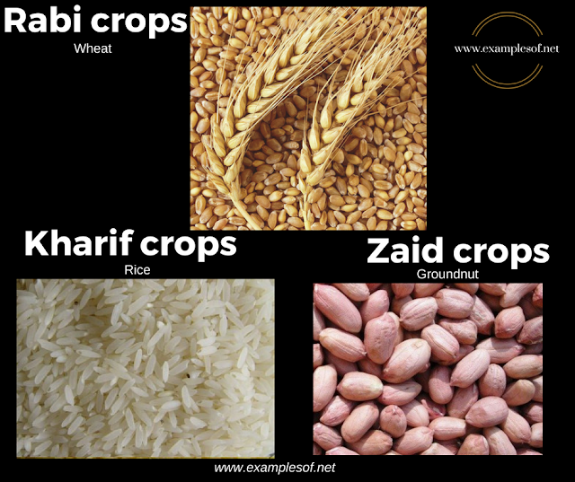 Example of Rabi crops, Kharif crops and Zaid Crops