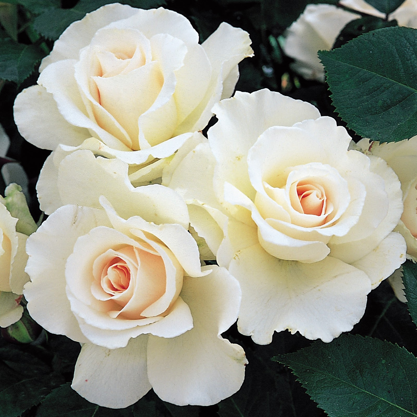 Most beautiful hd free wallpapers white roses hd wallpaper.
