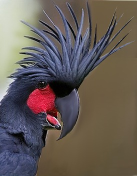 Burung Kakak Tua Raja  GAKUM LHK